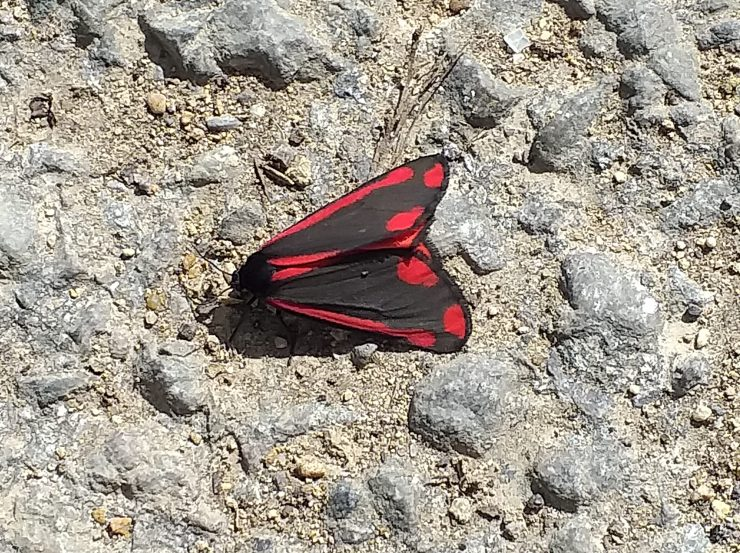 Cinnabar moth on the road