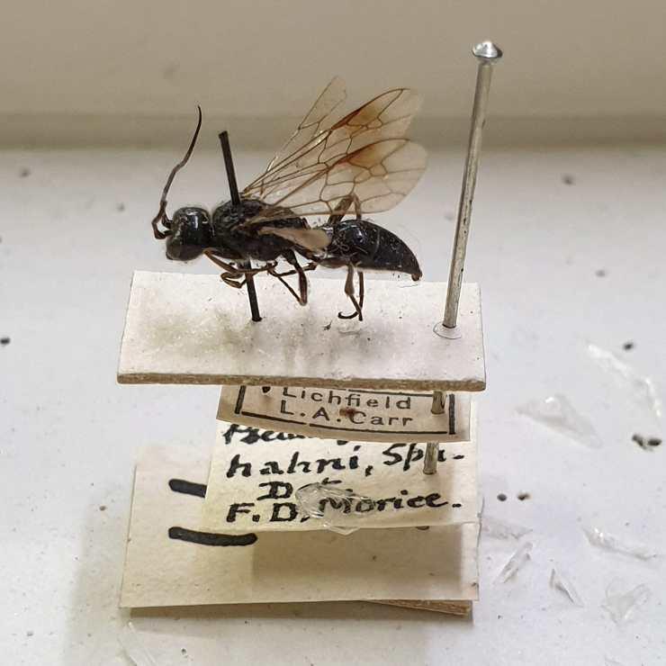 Pseudogonalos hahnii specimen pinned and mounted